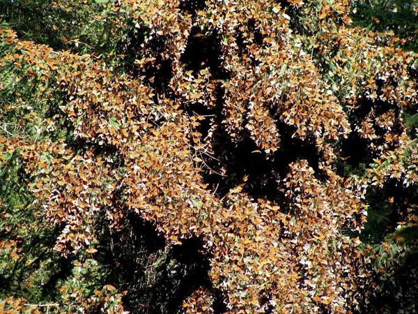Απίστευτες εικόνες από μεταναστευση πεταλούδων1