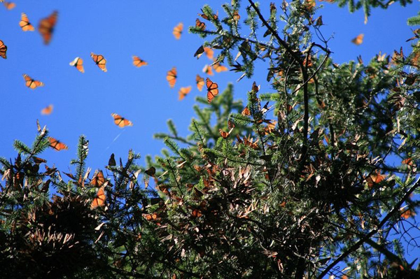 Απίστευτες εικόνες από μεταναστευση πεταλούδων2