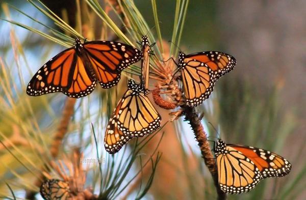 Απίστευτες εικόνες από μεταναστευση πεταλούδων4