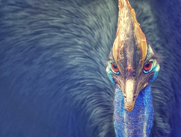 cassowary1 Πτηνό