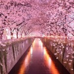 Τούνελ από ανθισμένες κερασιές