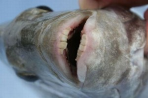fish_with_human_teeth το ψάρι Pacu1