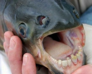 fish_with_human_teeth-2 το ψάρι Pacu