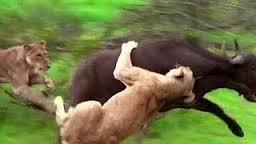 Λιοντάρια και βουβάλι2
