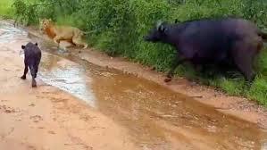 Λιοντάρια και βουβάλι3