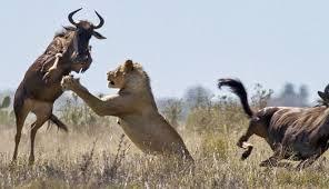 Λιοντάρια και βουβάλι4