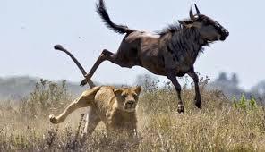 Λιοντάρια και βουβάλι5