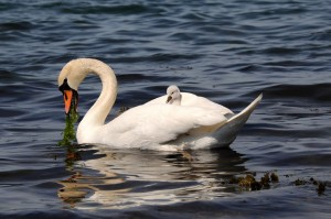 Swan with little baby swan