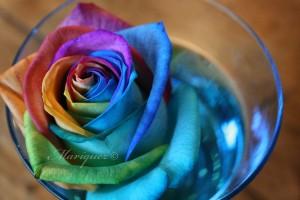 rose-24