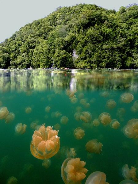 Jellyfish-Lake-Republic-of-Palau-Micronesia