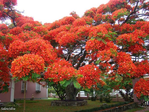 Δέντρο στη Βραζιλία