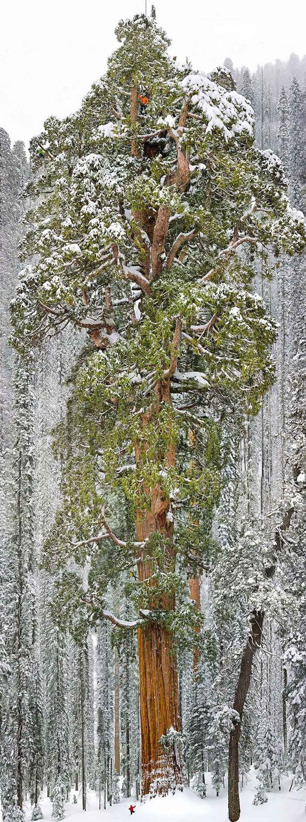 Το τρίτο μεγαλύτερο δέντρο στον κόσμο