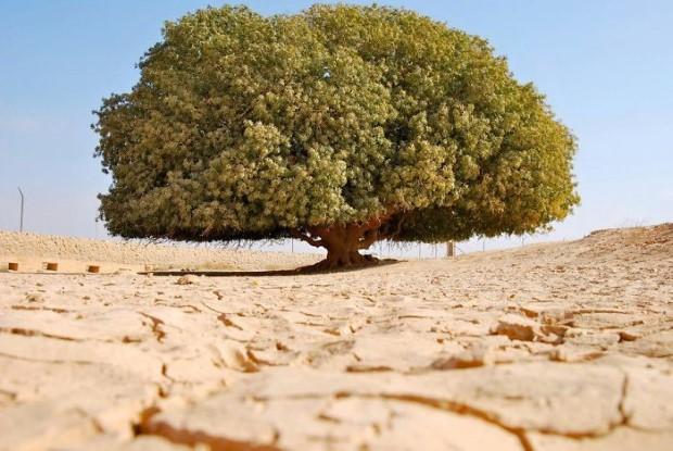 Το 1400 ετών δέντρο της Ιορδανίας