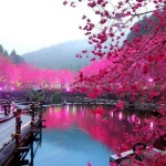Cherry Blossom Lake, Japan