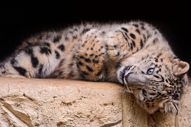 Cutely lying-Snow-Leopard