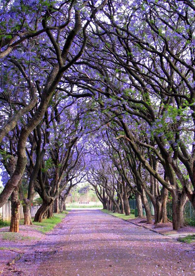 Jacaranda, Južná Afrika