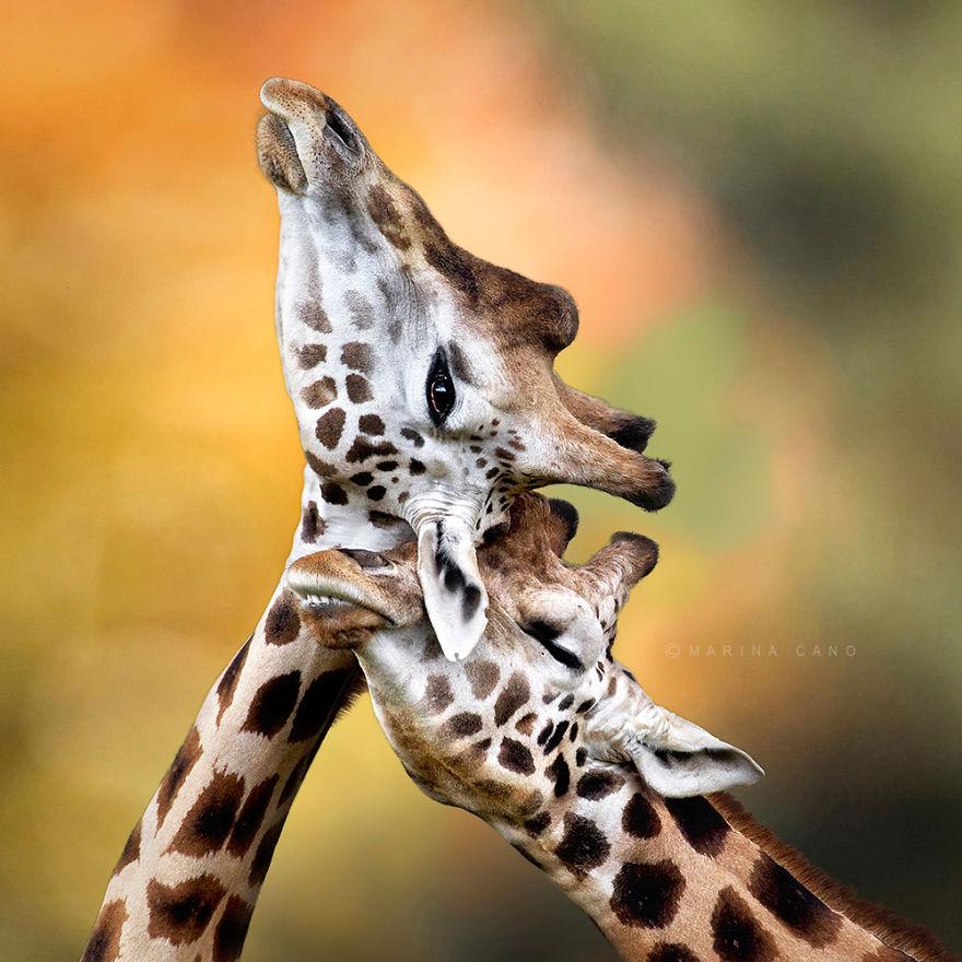 Ζευγάρια ζώων που αποδεικνύουν ότι η αγάπη υπάρχει και στο ζωικό Βασίλειο 17