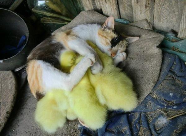 Γατάκι με κλωσόπουλο