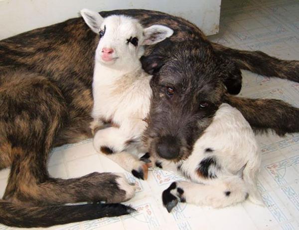 Σκυλί με αρνάκι