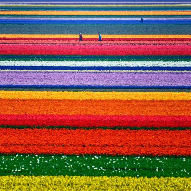 Τουλίπες, Ολλανδία