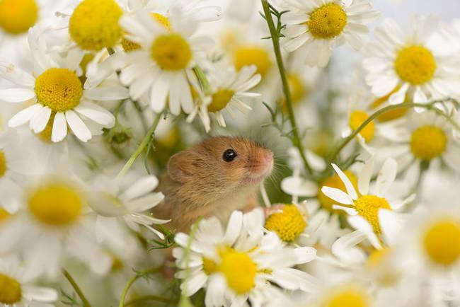Ποντίκι μέσα σε μαργαρίτες
