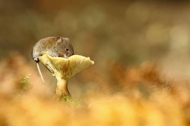Ποντίκι πάνω σε μανιτάρι