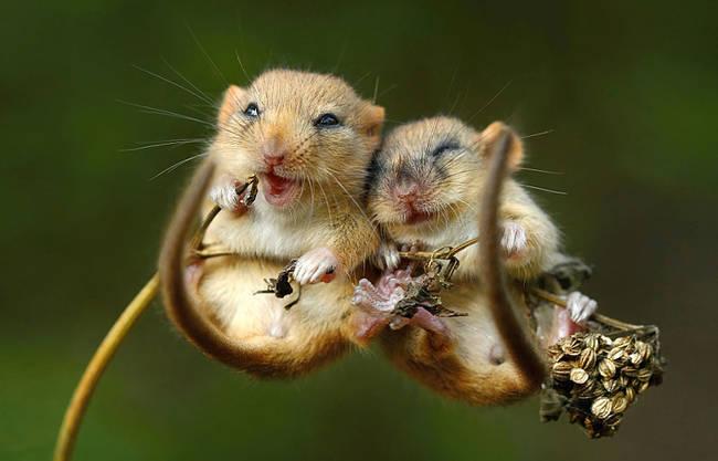 Ποντικάκια