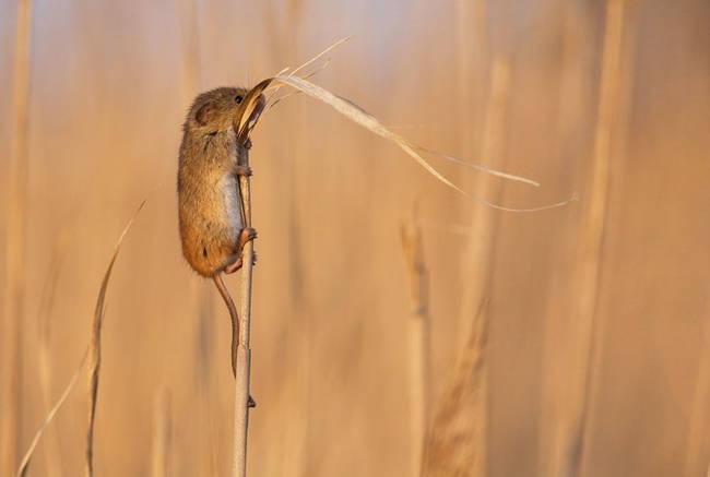 Ποντικάκι πάνω σε στάχυ