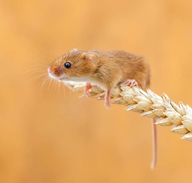 Ποντικάκι3