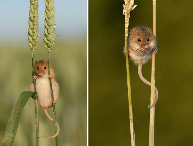 Ποντικάκι5