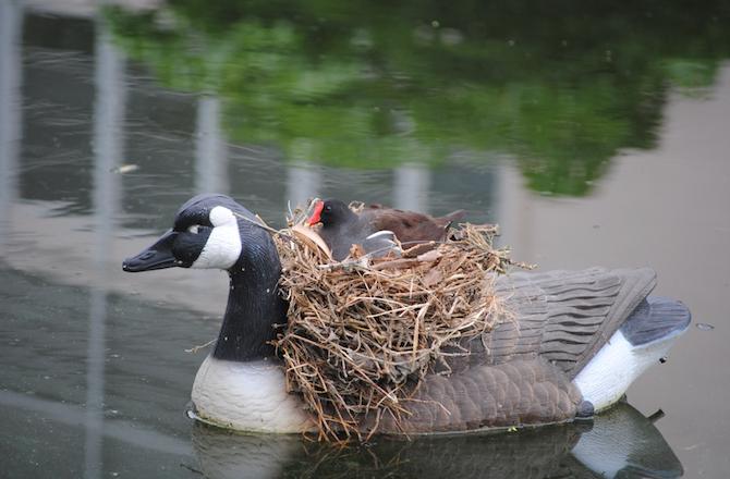 Φωλιά πάνω σε πλαστική χήνα