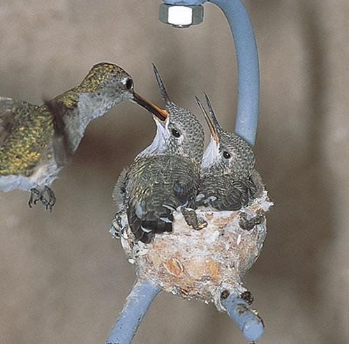 Φωλιά σε βρύση
