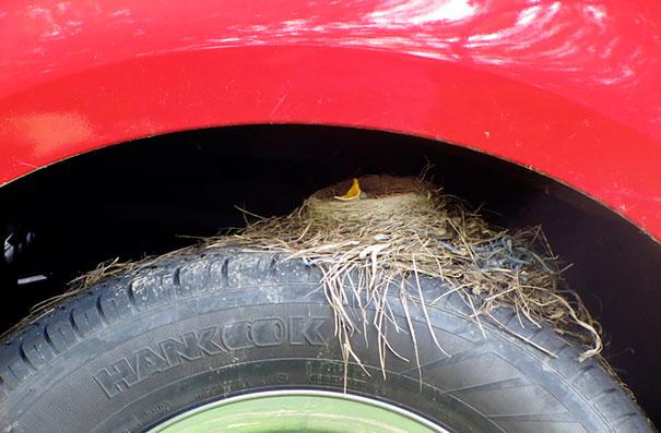 Φωλιά σε ρόδα αυτοκινήτου