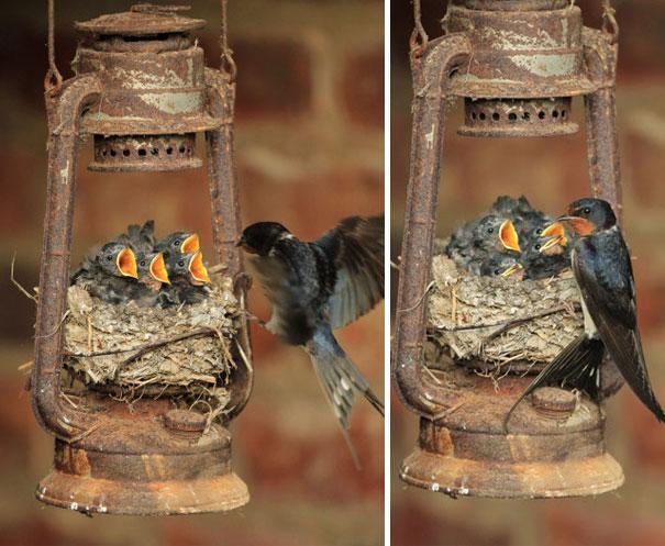 Φωλιά σε φαναράκι